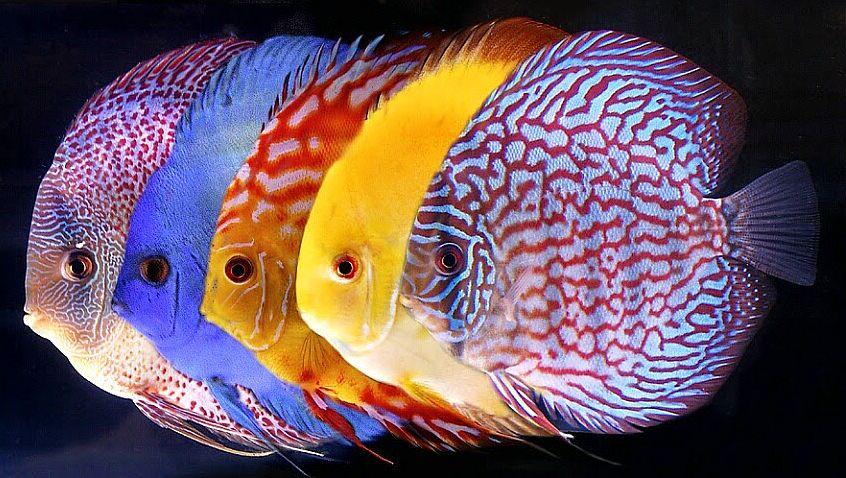 Peluang Usaha Ikan Hias Dan Analisa Usahanya Agrowindo