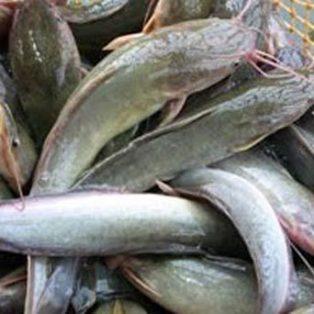 Peluang Usaha Ternak Ikan Lele Dan Analisa Usahanya Agrowindo