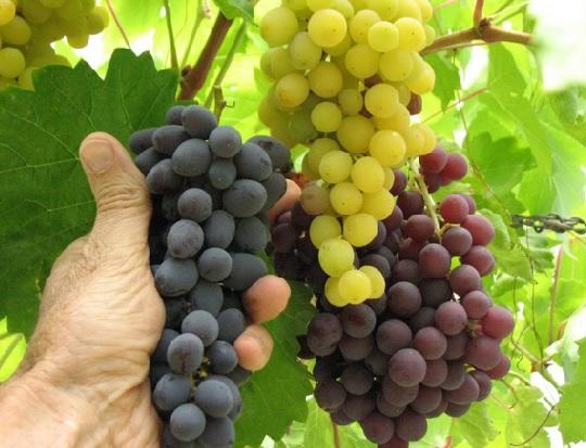 Cara Menanam Anggur Merah Supaya Berbuah Dengan Cepat