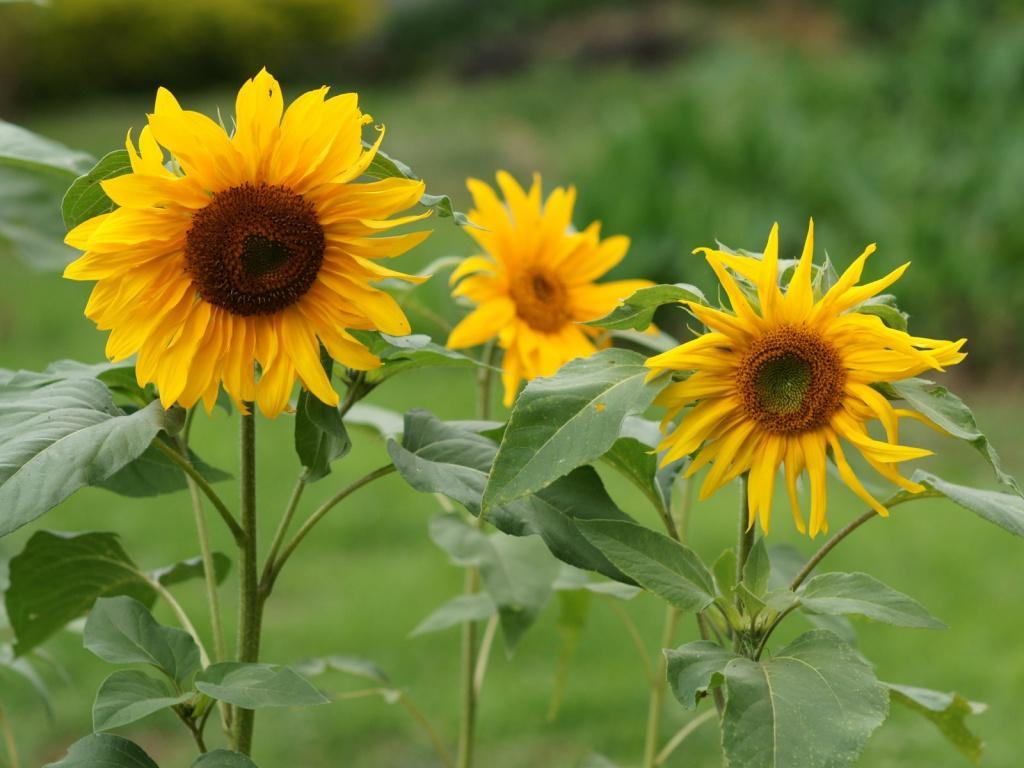 Peluang Usaha Budidaya Bunga Matahari Dan Analisa Usahanya Agrowindo