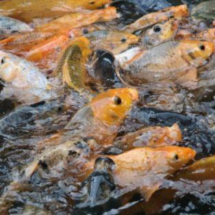 Peluang Usaha Budidaya Ikan Mas Dan Analisa Usahanya