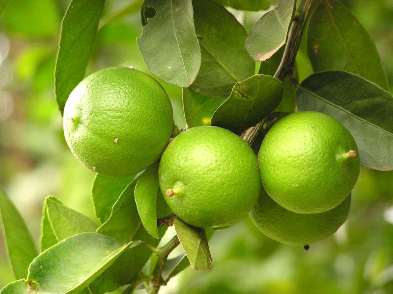 8 Bahaya Teh Campur Madu dan Jeruk Nipis atau Lemon bagi Kesehatan