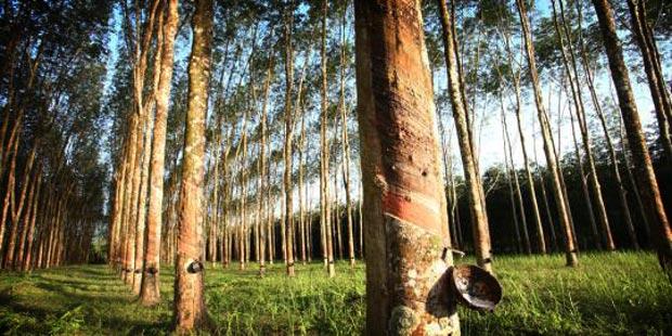 Peluang Usaha Budidaya Pohon Karet Dan Analisa Usahanya
