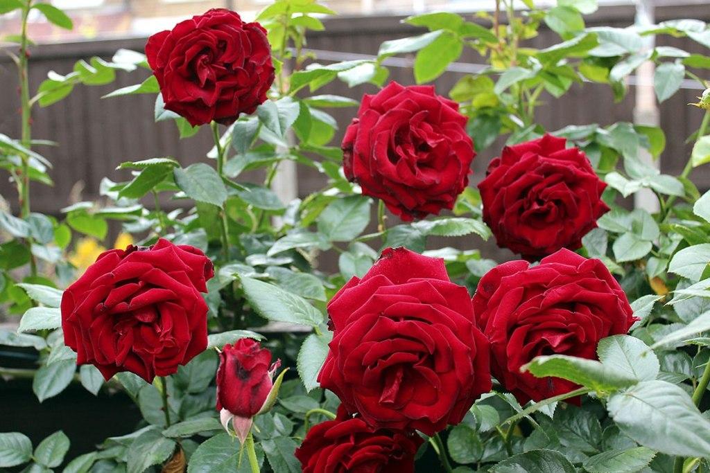 Gambar Bunga Mawar Merah Dan Penyerbukannya Informasi Seputar Tanaman Hias