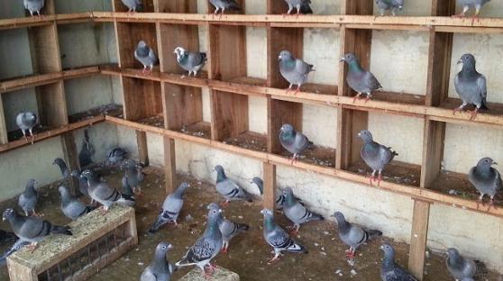 Peluang Usaha Ternak Burung Merpati dan Analisa Usahanya ...