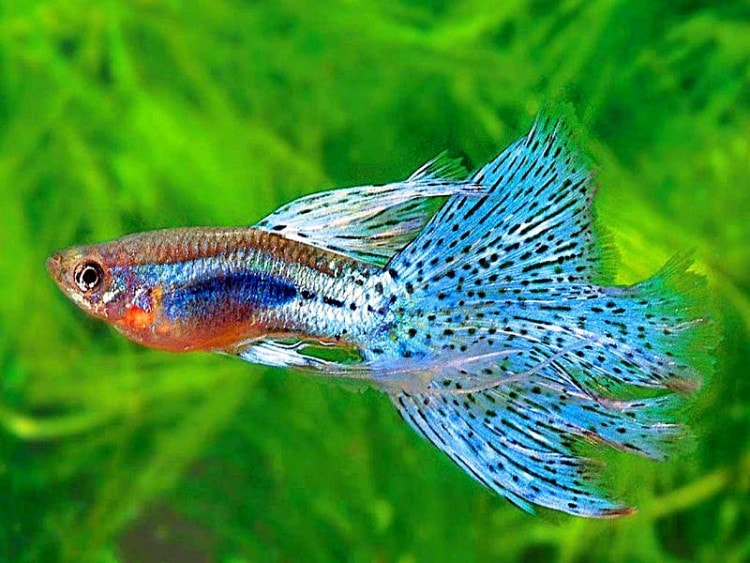 Peluang Usaha Budidaya Ikan Guppy Dan Analisa Usahanya Agrowindo