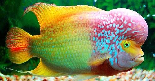Peluang Usaha Budidaya Ikan Lohan Dan Analisa Usahanya