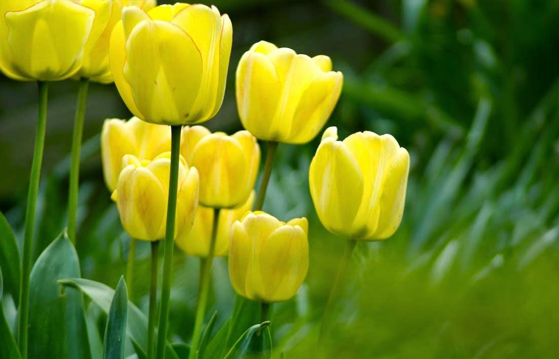 Peluang Usaha Budidaya Bunga Tulip Dan Analisa Usahanya Agrowindo