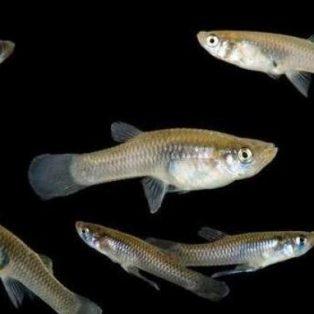 Peluang Usaha Budidaya Ikan Impun Dan Analisa Usahanya