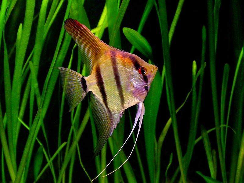 Peluang Usaha Budidaya Ikan Manfish Dan Analisa Usahanya