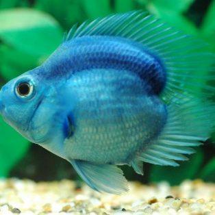 Peluang Usaha Budidaya Ikan Parrot Dan Analisa Usahanya