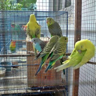 Peluang Usaha Ternak Burung dan Analisa Usahanya