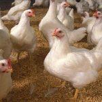 Peluang Usaha Ternak Ayam Potong Dan Analisa Usahanya
