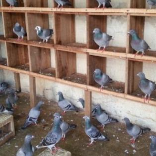 Peluang Usaha Ternak Burung Merpati dan Analisa Usahanya