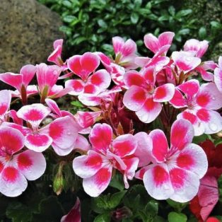 Peluang Usaha Budidaya Bunga Geranium Dan Analisa Usahanya