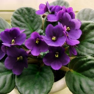 Peluang Usaha Budidaya Bunga Violet Dan Analisa Usahanya