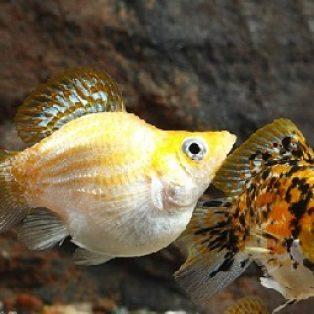 Peluang Usaha Budidaya Ikan Balon Dan Analisa Usahanya