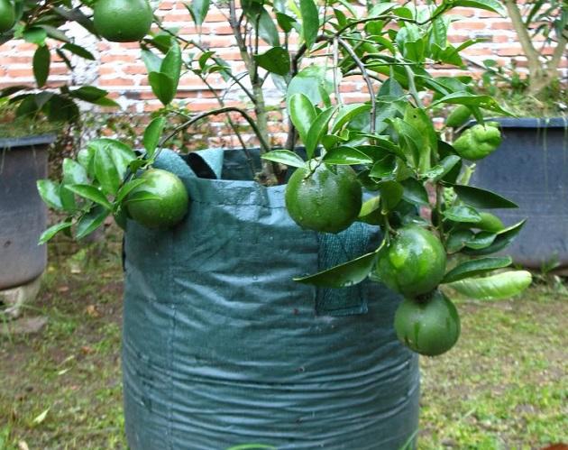 9 Tanaman Buah Dalam Pot Yang Cepat Berbuah Dijamin
